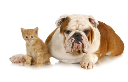 puppy and kitten: dog and cat - english bulldog and young kitten together on white background