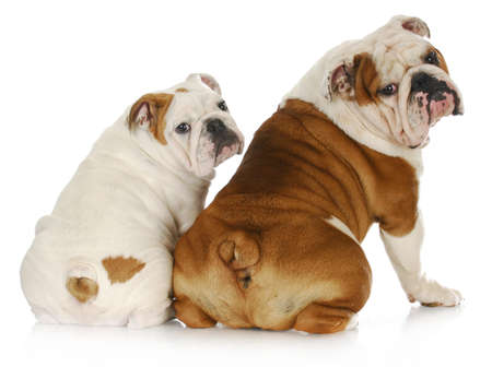 dog father and son - two english bulldogs looking at viewer over shoulder Stock Photo