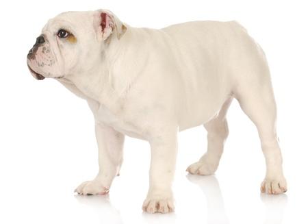 cute puppy - english bulldog puppy standing on white background - 5 months photo