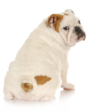 old english: english bulldog puppy looking over shoulder on white background - 4 months old