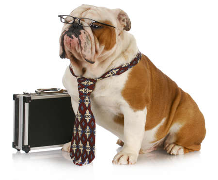 grooming: business dog - english bulldog male wearing tie and glasses sitting beside briefcase Stock Photo