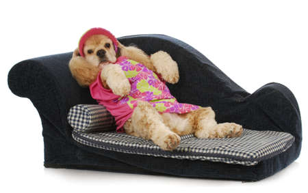 dog on a couch - american cocker spaniel female lounging on a sofa Stock Photo - 9738772