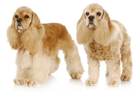 old and young dog - two american cocker spaniel dogs standing on white background - one 2 years old the other 9 years old photo