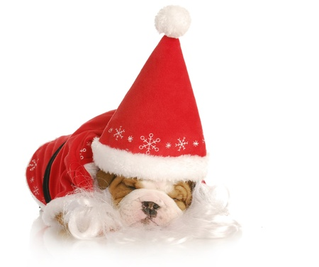 christmas costume: santa puppy - english bulldog wearing santa suit on white background Stock Photo