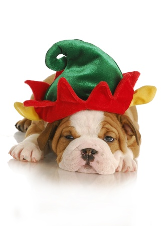 christmas puppy - english bulldog puppy dressed up like an elf on white background