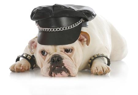like english: tough dog - english bulldog dressed up like a biker on white background Stock Photo