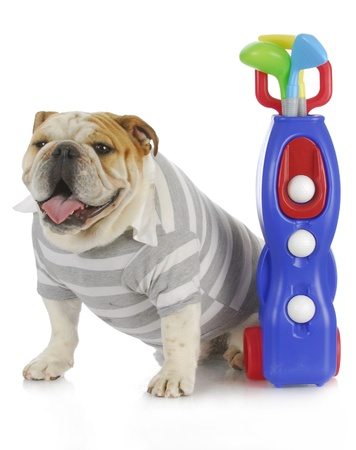 sports hound - english bulldog dressed up to play golf Stock Photo