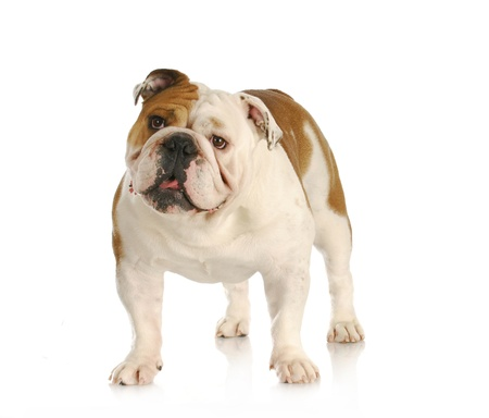 english bulldog standing looking up with reflection on white background photo