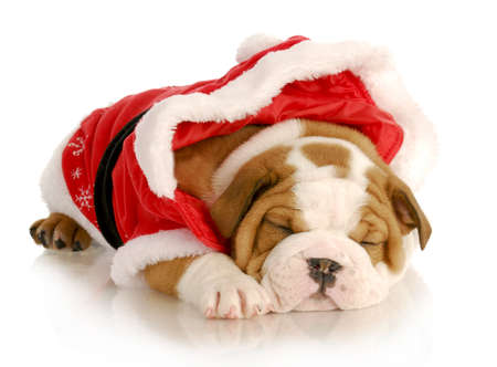 cute christmas puppy - english bulldog wearing santa suit on white background photo