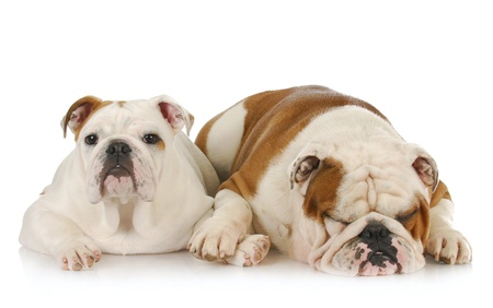 two english bulldogs laying down - one comforting the other photo