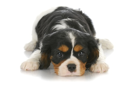 cute puppy - tri-color cavalier king charles puppy laying down on white background - six weeks old photo