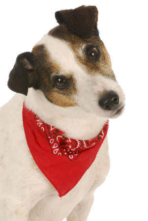 jack russell terrier puppy: cute dog - jack russel terrier wearing red bandanna on white background