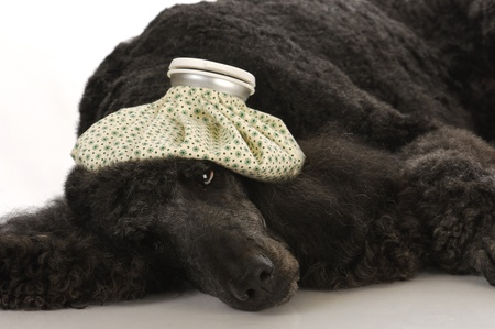 sick dog - standard poodle with water bottle on head  photo