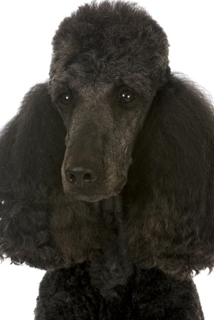standard: standard poodle portrait - black male champion on white background