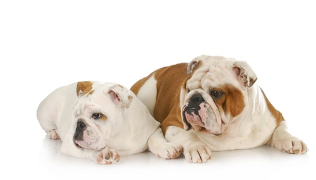 two dogs - english bulldog father and son laying down looking to the side on white background photo