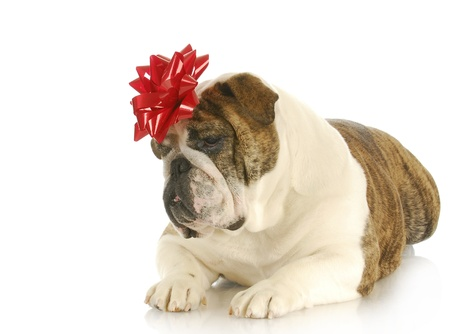 dog present - english bulldog with red bow on head photo