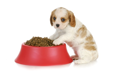 overflowing: feeding the dog - cavalier king charles spaniel sitting with full dog food bowl Stock Photo