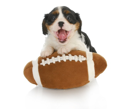 funny puppy- cavalier king charles spaniel with silly expression on stuffed football photo