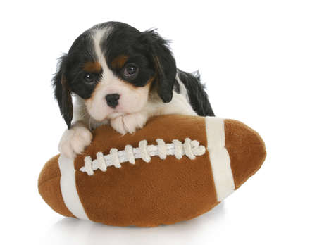 cavalier king charles spaniel: sports hound - adorable cavalier king charles spaniel sitting on stuffed football - 6 weeks old