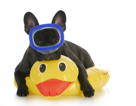 dog swimming - french bulldog wearing life perserver and snorkeling mask on white background Stock Photo - 10273567