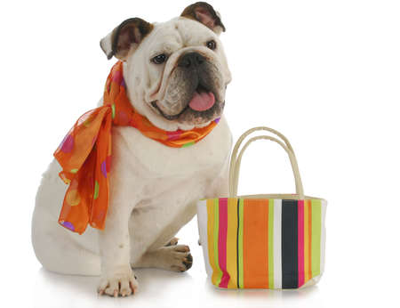 shops: english bulldog wearing silk scarf with matching colorful purse on white background
