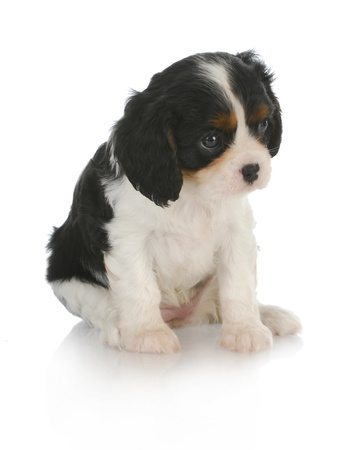 cute puppy - cavalier king charles spaniel puppy sitting on white background - 6 weeks old photo