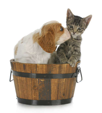 cavalier: cute puppy and kitten sitting in wooden bucket on white background Stock Photo