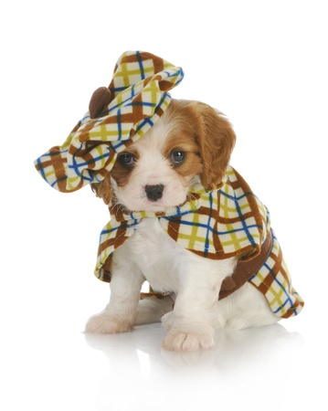 cavalier: cute puppy - cavalier king charles spaniel wearing plaid coat and matching hat - 6 weeks old