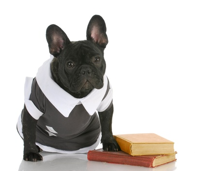 dog obedience school - french bulldog wearing shirt sitting with books photo