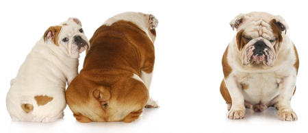 peer to peer: bullying - two english bulldogs ignoring another with very sad expression