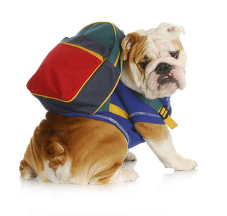 dog school: dog obedience school - english bulldog wearing blue shirt and matching back pack looking at viewer