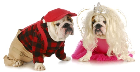 barrettes: dog couple - male and female english bulldog couple on white background