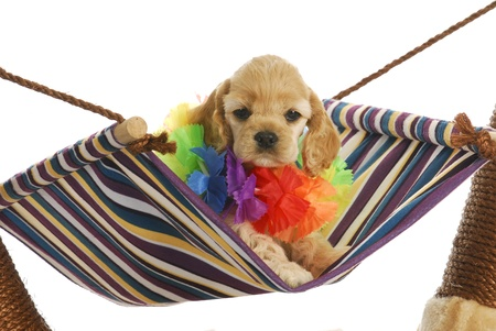 tired: puppy vacation - cute cocker spaniel puppy wearing hawaiian lei sitting in hammock Stock Photo