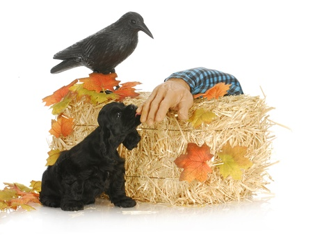 halloween puppy - american cocker spaniel puppy in halloween setting photo