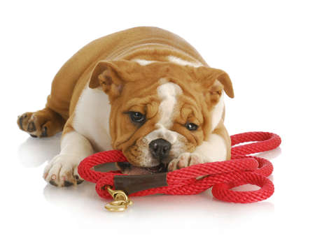 lead: naughty puppy - english bulldog puppy chewing on red leash - 8 weeks old