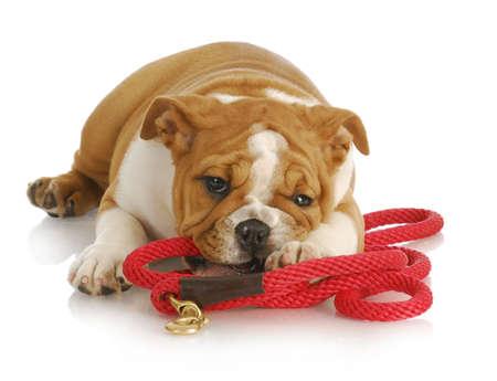 dog on leash: travieso cachorro - bulldog ingl�s cachorro masticar Correa roja - 8 semanas de edad