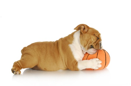 sniffing: playful puppy - english bulldog playing chewingstuffed basketball on white background - nine weeks old Stock Photo