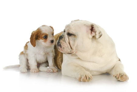 two puppies - cavalier king charles spaniel and english bulldog puppy together  photo