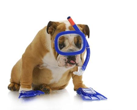swim mask: swimming dog - english bulldog wearing snorkeling mask and flippers Stock Photo