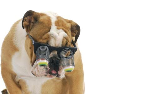 funny glasses: funny dog wearing glasses - english bulldog wearing silly google eye glasses on white background