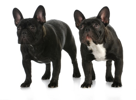 brindle: two dogs - french bulldog litter mates standing on white background