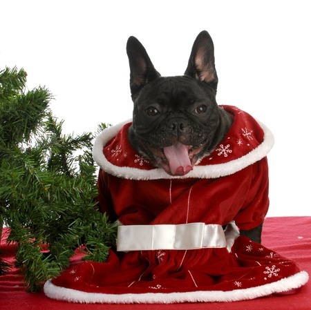 christmas costume: christmas puppy -  french bulldog with silly expression ready for christmas  Stock Photo