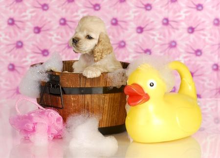 bath: dog bath - american cocker spaniel in wash tub full of bubbles with rubber duck
