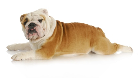 sprawled: dog stretched out laying down - english bulldog - 2 years old Stock Photo