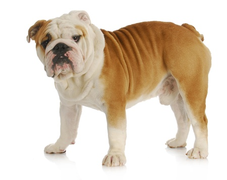 old english: english bulldog standing looking at viewer on white background Stock Photo