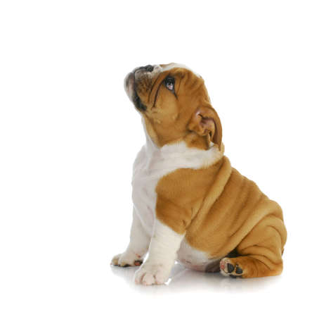 adorable puppy - english bulldog puppy sitting looking up on white background - 8 weeks old