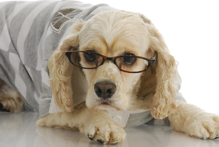 dog in costume: smart dog - american cocker spaniel wearing reading glasses