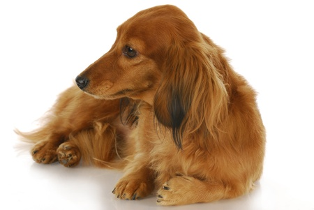miniature breed: dachshund perro - largo pelo lindo establecen mirando fuera de al lado sobre fondo blanco