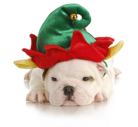christmas costume: puppy elf - english bulldog dressed up like christmas elf on white background