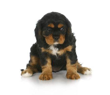 cavalier: cute puppy - black and tan cavalier king charles spaniel puppy sitting - 6 weeks old